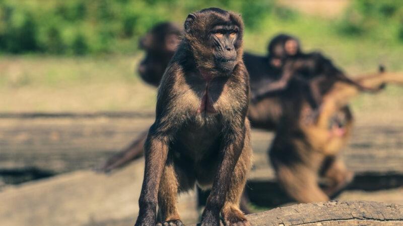 因果报应实录:虐杀黑猴 被猴附体
