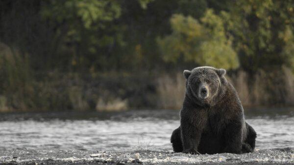 3黑熊公路搶救受傷小熊 女車主心碎高喊「快救走孩子」