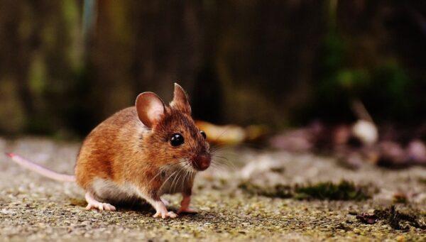 死亡動物檢出鼠疫陽性 北京恐慌建三道「防火牆」