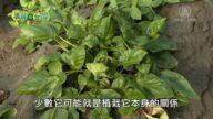美麗心台灣:屏東有機丹蔘 首次種植有成