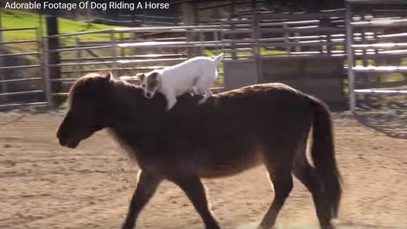 这只美国小狗会骑马 帅气得很
