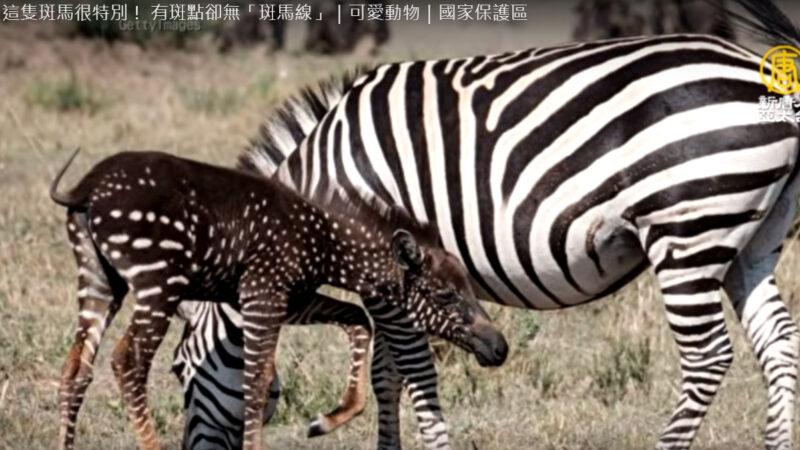 """肯亚罕见小斑马 有斑点却没有""""斑马线""""(视频)"""