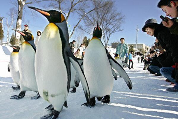 国王企鹅住在日本家庭里 会自己到市场买鱼(视频)