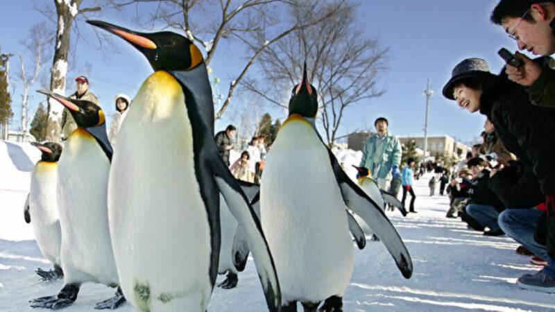 國王企鵝住在日本家庭裡 會自己到市場買魚(視頻)