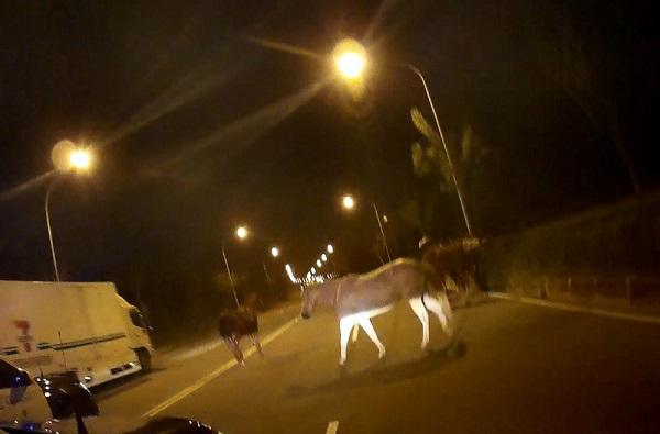 疑栅栏未上锁 台南7匹马深夜跑给警察追