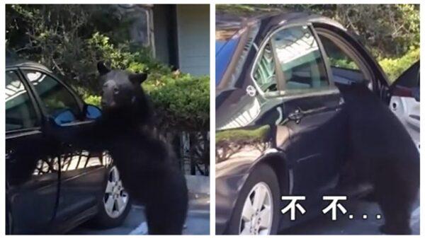 呆萌熊钻进车里 差点把车开走 (视频)