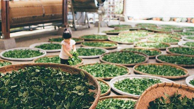 张林:在茶园呆了3年,25年不敢喝中国茶
