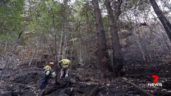澳洲东岸雷暴缓解山火 侏罗纪时期松树林幸保存
