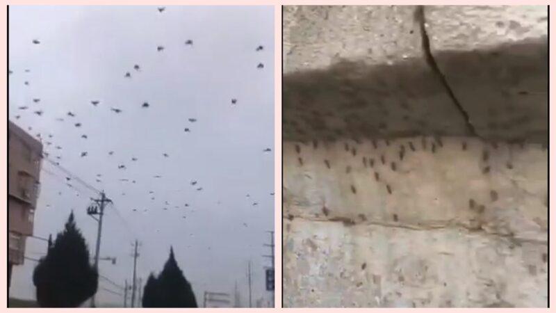 瘆人!湖北烏鴉滿天飛 北京湧現越冬蚊(視頻)