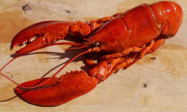 为什么龙虾在煮食后会变红色?(组图)