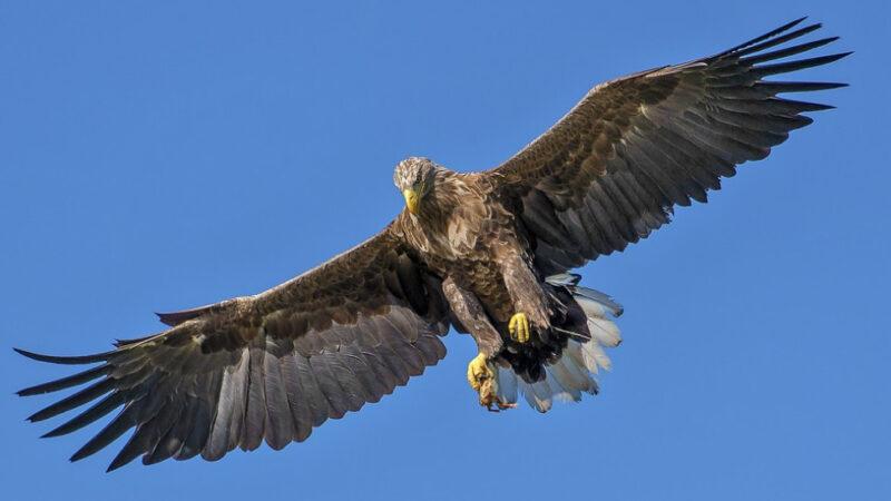 老鷹闖入雞舍想大快朵頤 不料反被雞群圍毆(視頻)