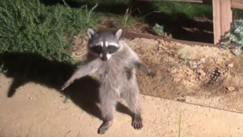 浣熊在夜间被发现 像人一样双脚站立不动(视频)