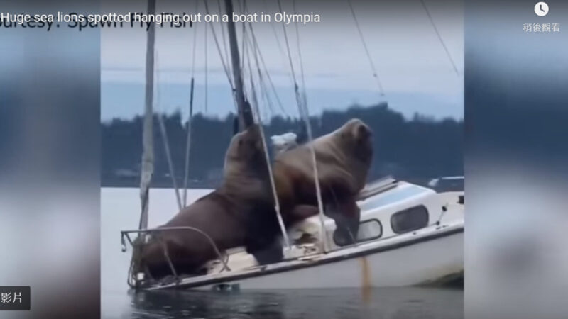 兩隻胖海獅跳上小船玩耍 差點沉船(視頻)