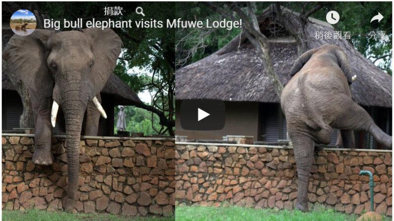 大象罕见爬墙欲偷摘芒果 镜头全都录(视频)