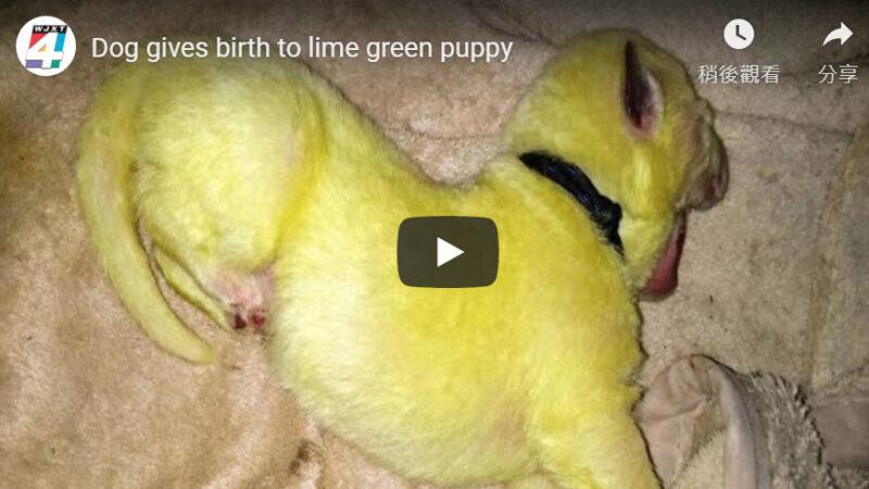 美国白色母狗生8只小狗 有一只竟是绿色的(视频)