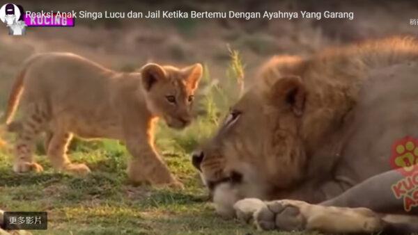 未来的万兽之王 狮子宝宝翻肚子睡姿萌翻网友