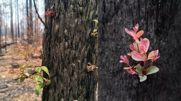 澳洲火灾后森林长出了嫩芽!全澳一张照片刷屏了