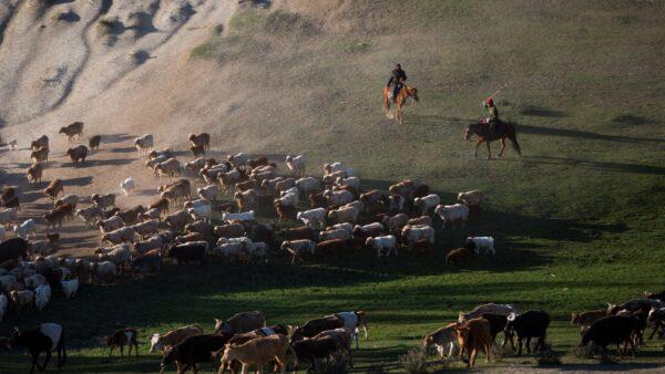 中國「瘟」情連連人畜不安 新疆再傳口蹄疫