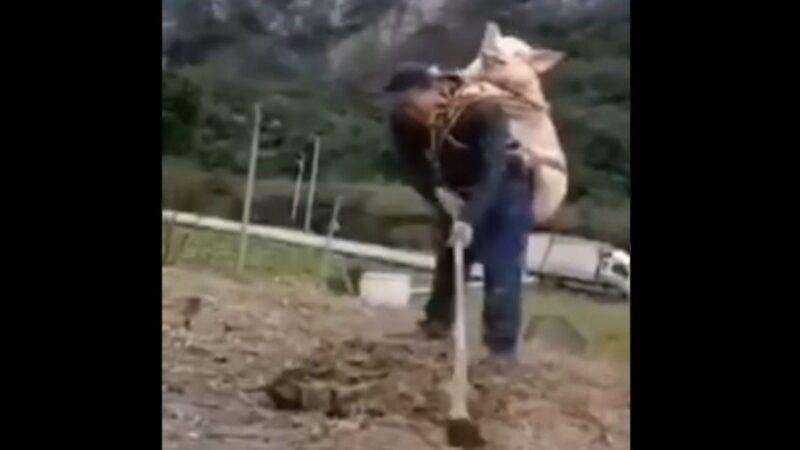新年临近怕猪被偷?四川农夫背猪耕田 笑翻网友