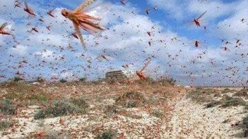 預警!4000億隻蝗蟲已到中國邊境 在劫難逃?