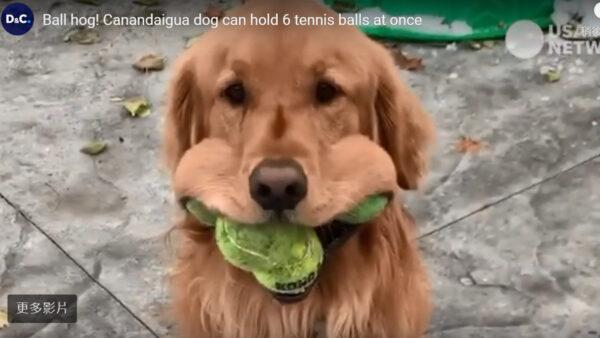 一口塞进6颗网球 美国小狗可望创世界纪录(视频)