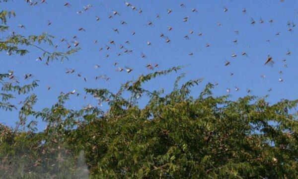 【江峰時刻】蝗蟲逼近 中共專家再次可防可控 糧食安全危機在謊言中加劇
