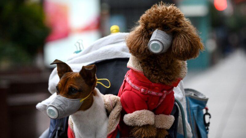 狗测出新冠病毒阳性 香港所有患者宠物都将隔离
