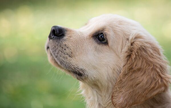 研究:小狗鼻子有紅外線感應器 可偵測溫度