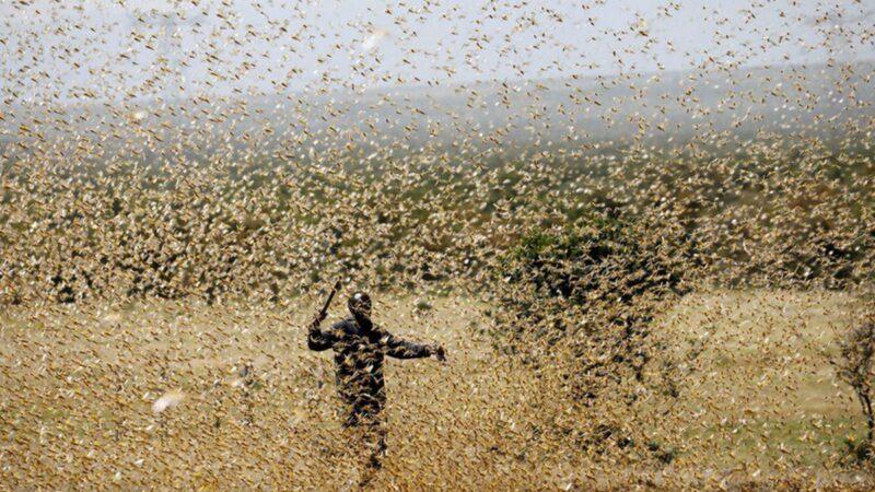 4千億蝗蟲直逼中國 猶如186艘航空母艦橫掃