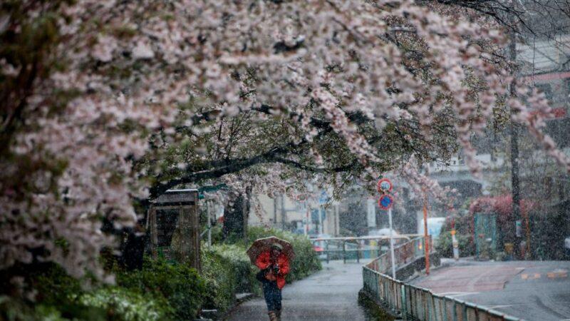 睽违51年 东京樱花满开后再见3月雪