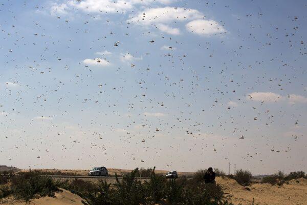 沙漠蝗虫逼近 云南发紧急通知备战