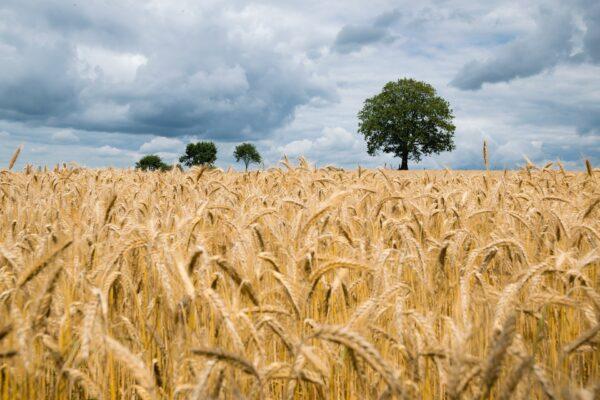 海外多国开始屯粮 国际食品价格面临通涨威胁