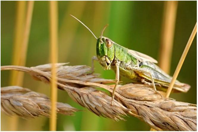 《石濤聚焦》蝗蟲突然現身吉林黑龍江湖南 劉伯溫的十愁更顯兌現
