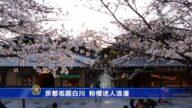京都祇园白川 粉樱迷人浪漫