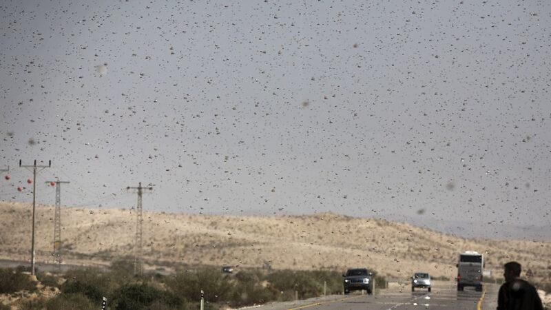 蝗災威脅陡增?中共11部門急發文:蟲口奪糧