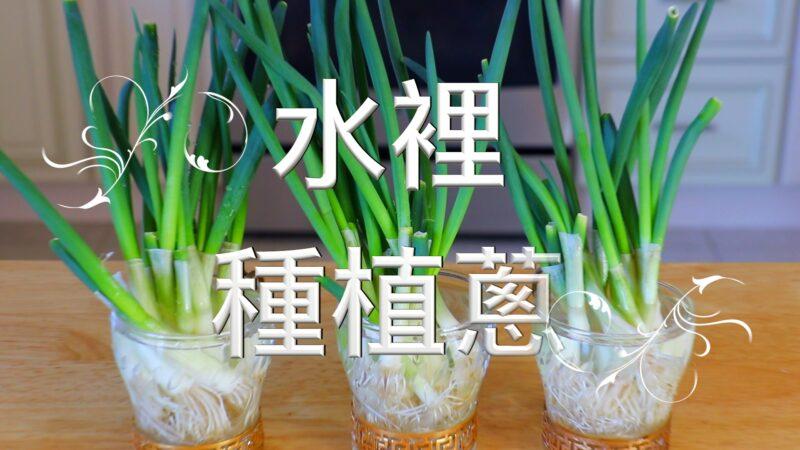 【美食天堂】水里种植葱的方法~种一次吃永远!家常料理食谱 一学就会