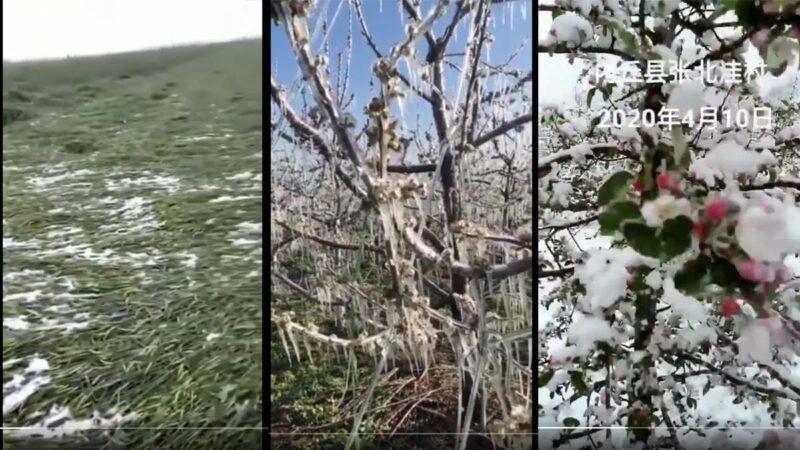 華北早春降大雪 糧食水果將大面積減產(多視頻)