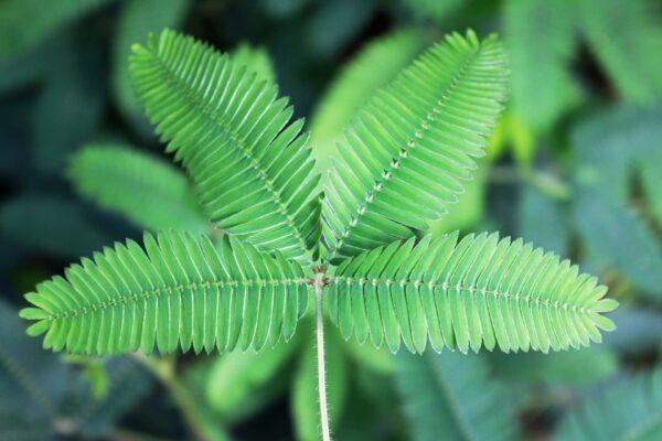 神奇植物含羞草 有一个月的记忆