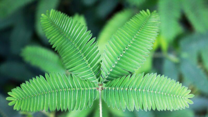 神奇植物含羞草 有一個月的記憶