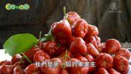美丽心台湾:余志忠的盐水莲雾 朱国宝 推行槟榔园间作黄金果
