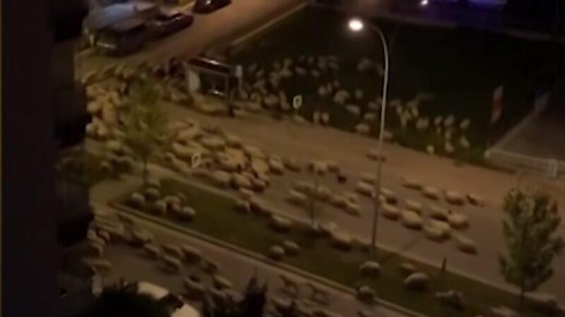 土耳其禁足令下 羊群咩咩叫佔領街道