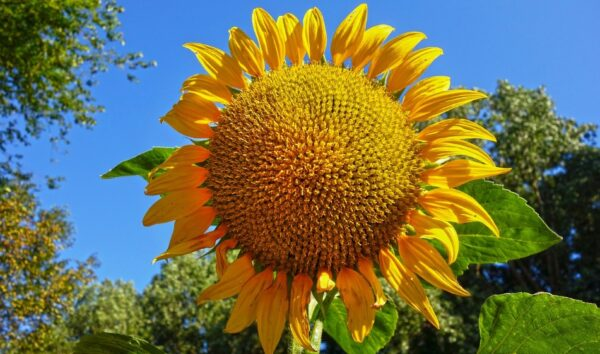 不只瓜子 向日葵一身是宝 降血压止痛9种妙用(组图)