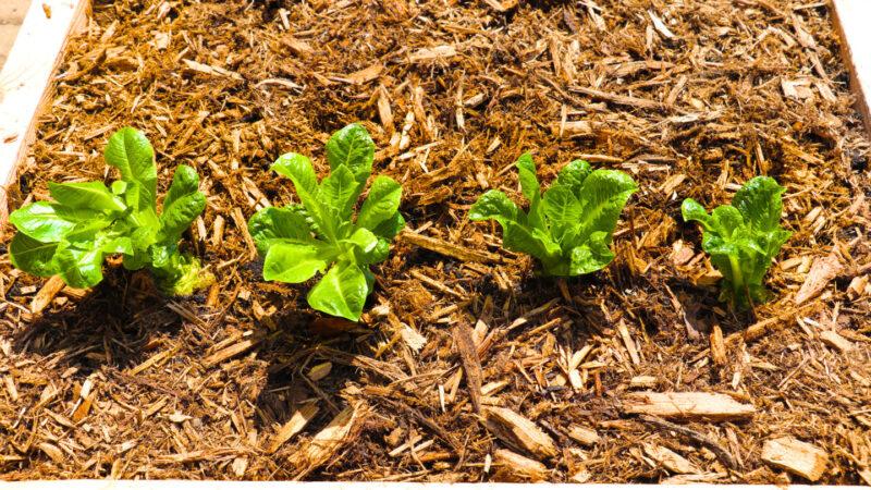 【美食天堂】种植罗马生菜的方法~水和土都能种!人人都能成功!家常料理食谱 一学就会