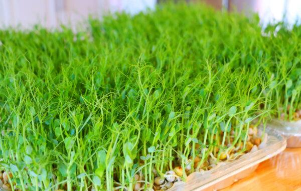 【美食天堂】无土种植豌豆苗的方法~和清炒豆苗食谱~简单易学!太美味了!家常料理食谱 一学就会