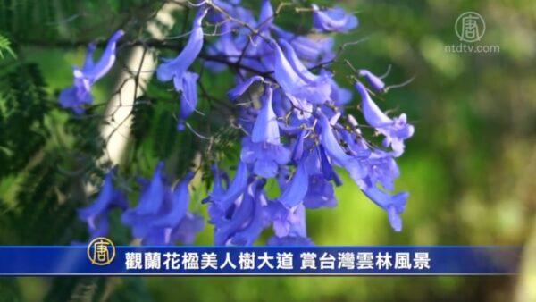 觀蓝花楹美人樹大道 賞台灣雲林風景