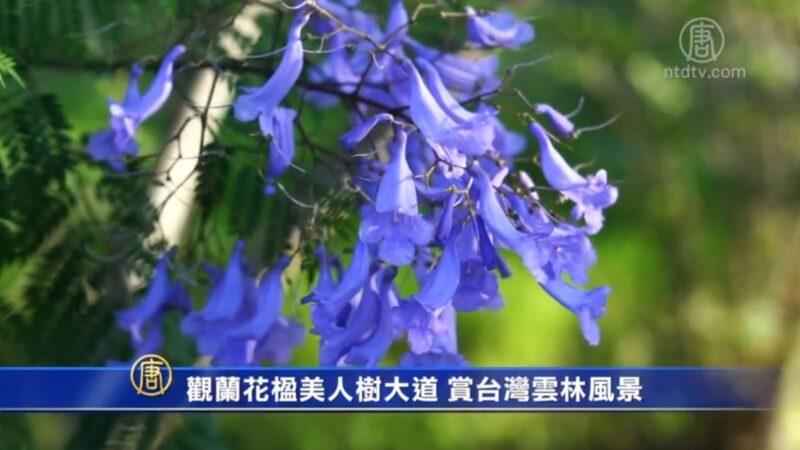 观蓝花楹美人树大道 赏台湾云林风景