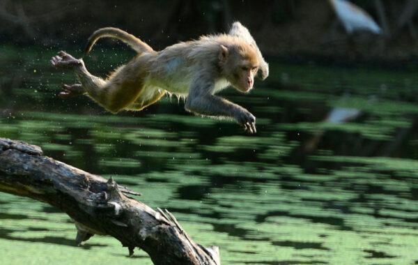 印度猴群闯校园 抢走中共肺炎患者检体