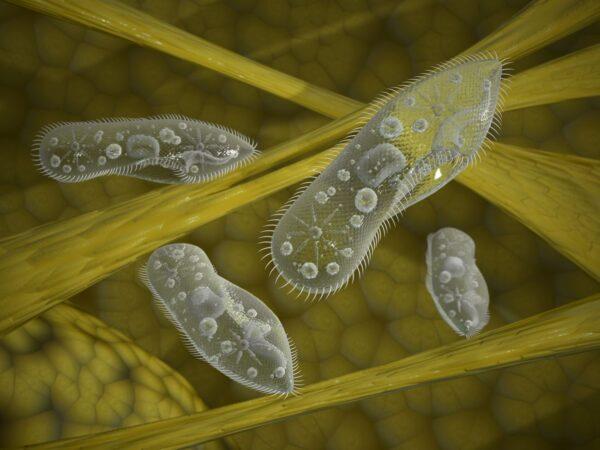 """没有大脑的""""单细胞生物""""也能学习和记忆?"""