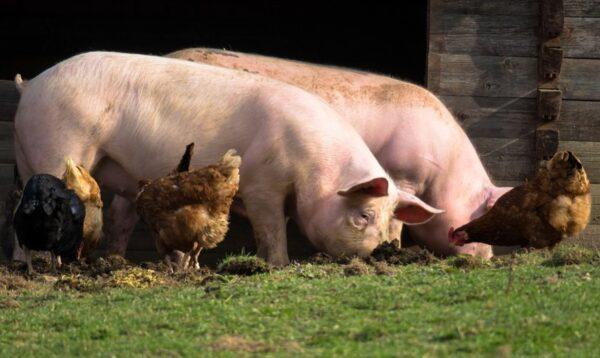 積德行善免去轉世為豬的厄運(圖)