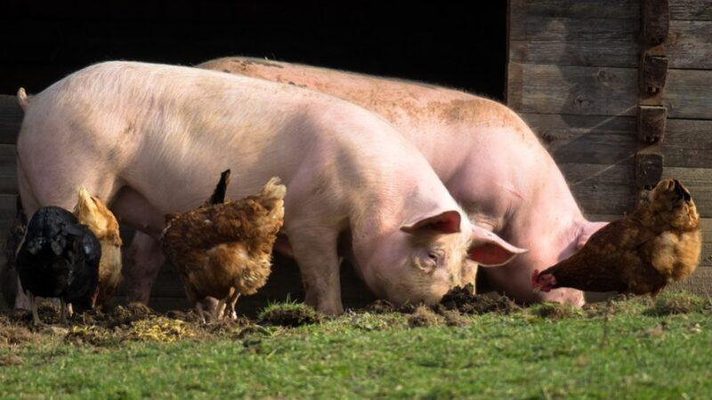 积德行善免去转世为猪的厄运(图)